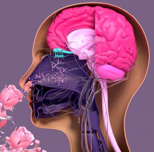 How smell gets processed by our brains